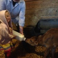 Bottle feeding calves