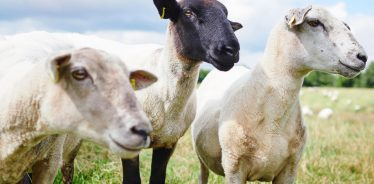 Many farm stays have sheep you can learn about.