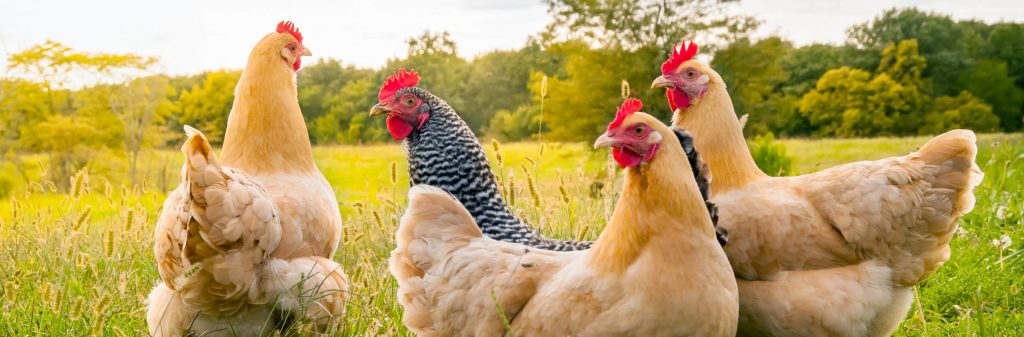Like chickens? They are everywhere at farm stays.