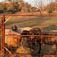 Churro sheep on ranch