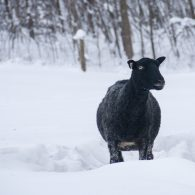 Gotland Ewe