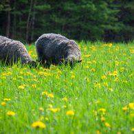 Gotland Sheep Grazing
