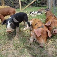 Some of the cute pigs we have had on our farm.