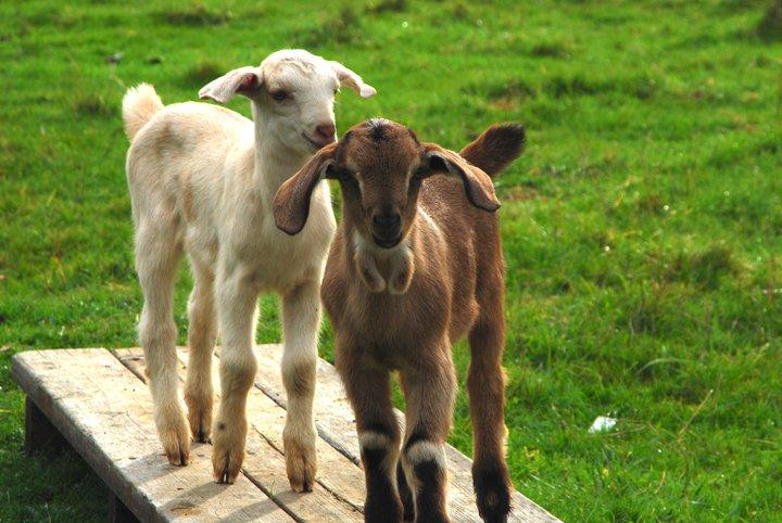 Lucky Goat Family Farm Big Sur CA | Farm Stay USA
