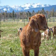 Nubian Goats on the farm at ABC acres!