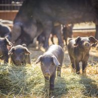 Piglets on display at the farm at ABC acres!