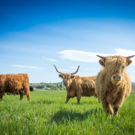 Scottish Highland cattle on the farm at ABC acres!