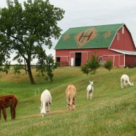Heritage Farm barn and alpacas