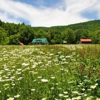 Field full of daisies with Pioneer House in distance