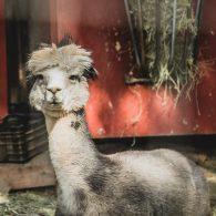 Alpaca, Morning Song Farm | Photo by Anna Chasovnikov