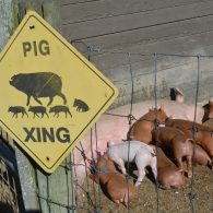 Pig Crossing at East Hill Farm