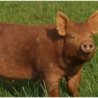 Our heritage Tamworth pigs live happily on pasture.