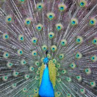 Peter the peacock strutting his stuff