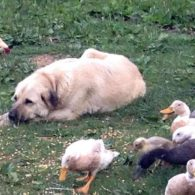 Turk is guarding his flock