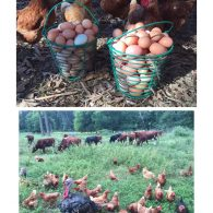 chickens and eggs