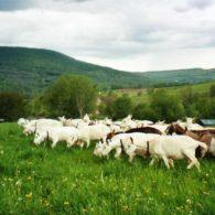 Pet the goats. Milk the goats.