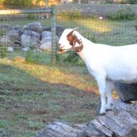Goat enjoying the sun at East Hill Farm.