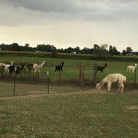 Alpaca herd