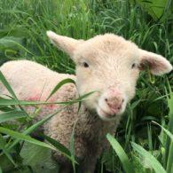 Look for lambs hidden in pastures