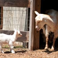 Petting Farm Goats