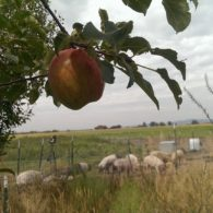 pasture and apples