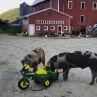 Huge pigs