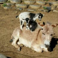Goat and donkey friends at Buffalo Creek Vacations