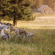 Goats planning mischief