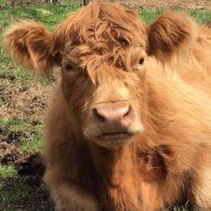 Fuzzy cow!
