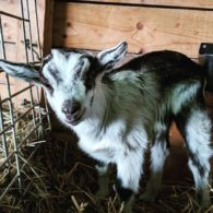baby dairy goat