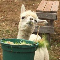 Llamas are characters