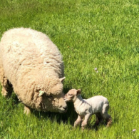 A lamb is born