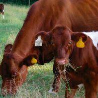 cute cows!