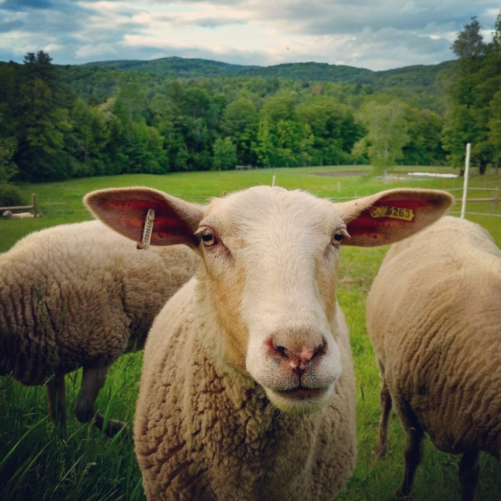 Fat Sheep Farm & Cabins, Hartland, Vermont | Farm Stay USA