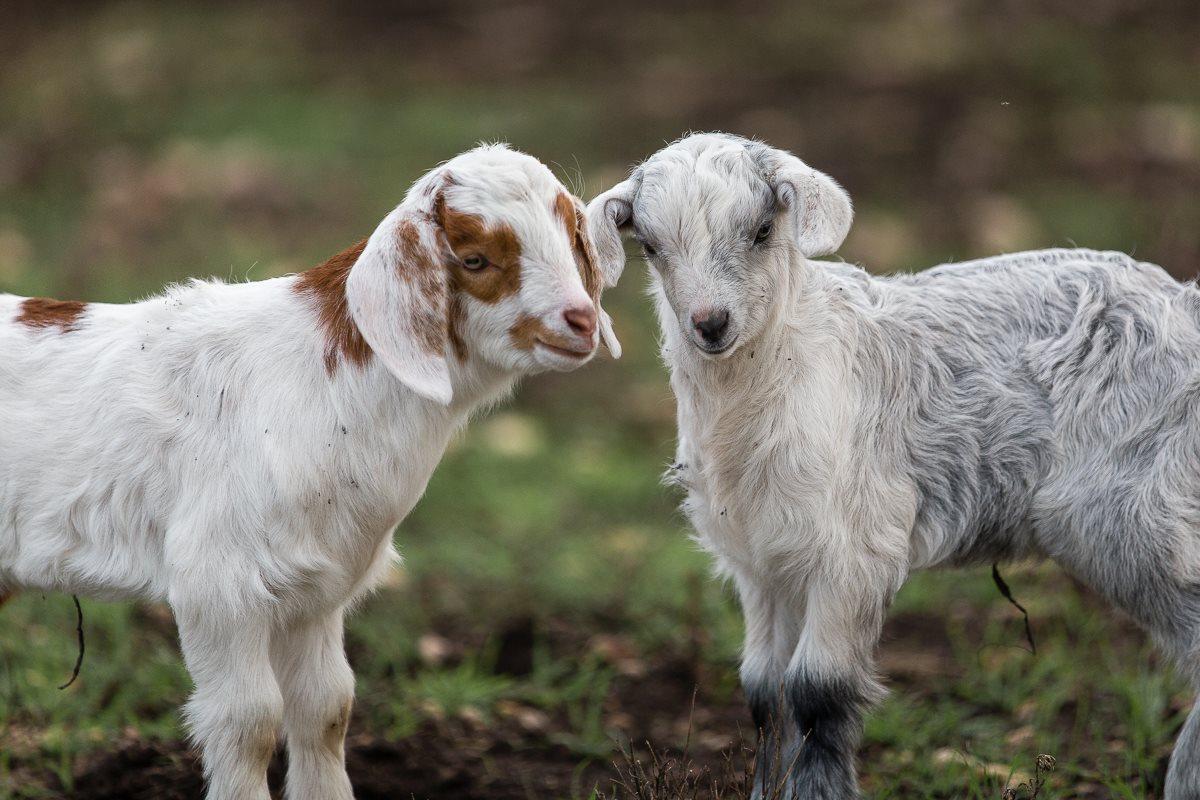 Scurlock Farms, Georgetown, TX | FarmStay USA