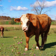 At Blind Buck Valley Farmstead, we host ponies, horses and cows throughout the spring, summer and fall.