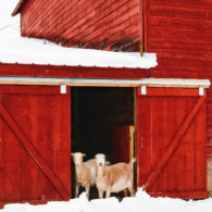 Meet Blind Buck Valley Farmstead's LaMancha Goats - Darla, Lady and Grace