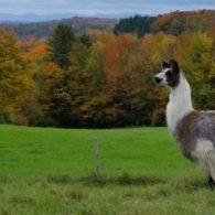 Guard llama