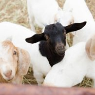 Goats are bred to begin kidding in May.