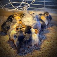 The newest crop of chickens.
